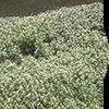 オランダガラシ葉/茎エキス