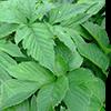 アシタバ葉/茎エキス